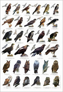 British Bird of Prey Identification Chart Nature Poster