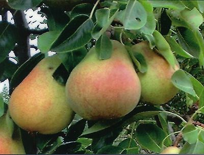 Bartlett Pear  Pyrus Communis Bartlett  Tree Seeds  Fast  Hardy  Fall Color