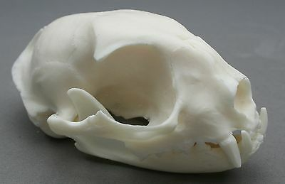 Cat Animal Skull Replica Taxidermy Study