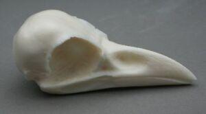 Crow-Bird-Skull-Replica-Taxidermy-Study