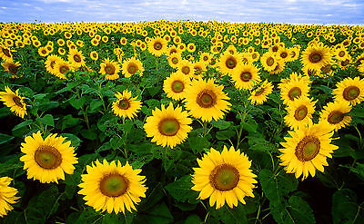 sunflowercreatives