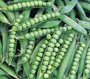 PEA-ALDERMAN-300-FINEST-SEEDS-MAIN-CROP-TALL