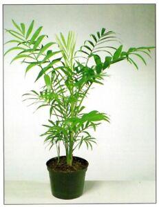 INDOOR HOUSE PLANT PALM IN 10cm POT PARLOUR PALM