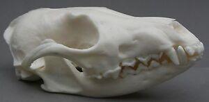 Fox-Animal-Skull-Replica-Taxidermy-Study-Prop-Ornament-Halloween-Decoration