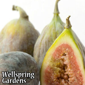 HARDY-FIG-FRUIT-TREE-Texas-Everbearing-Brown-Turkey-LIVE-PLANT