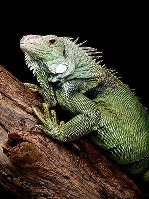 IguanaLona s