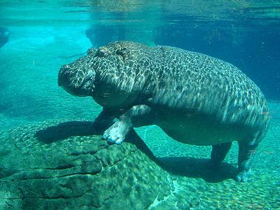 hippopothame