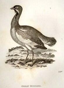 Shaws-Zoology-Engraving-1800-GREAT-BUSTARD