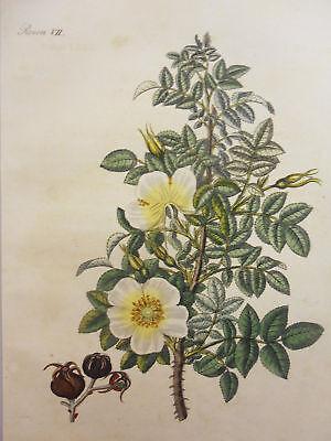 Rosen – Altkolorierter Kupferstich – Ca. 1805