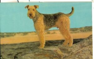 POSTCARD-DOGS-Airedale