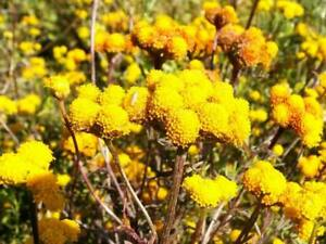 250-Yellow-GOLDEN-AGERATUM-Lonas-Inodora-Flower-Seeds