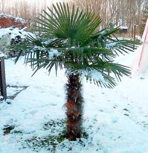 Trachycarpus Fortunei - 20 Seeds - UK Hardy Chusan Palm