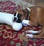 adopt-a-boxer