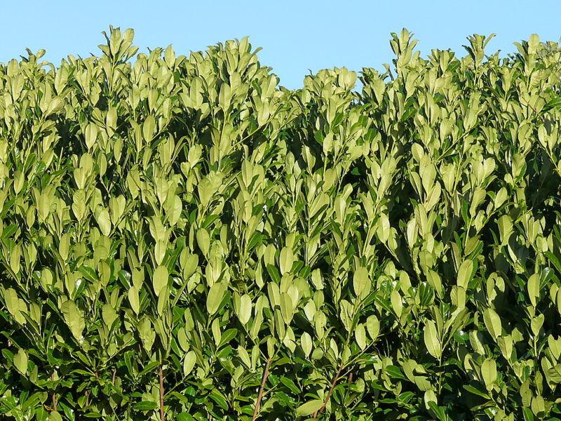 25 cherry laurel evergreen hedge plants 30 50cm in pots ebay. Black Bedroom Furniture Sets. Home Design Ideas