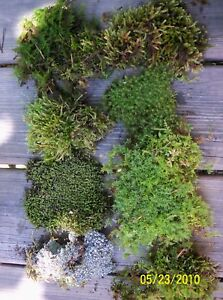 LIVE MIXED MOSS 1 QUART  BAG BONSAIS TERRARIUMS CRAFTS WEDDINGS