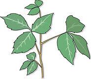 Poison Ivy Paradise