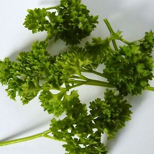 PARSLEY-BRAVOUR-6000-Seeds-decorative-flavourful-triple-curled-leaves