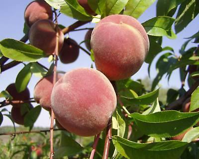 Nemaguard Peach, Prunus persica nemaguard, Tree Seeds ...