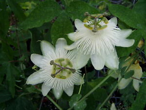 Passiflora-White-Wedding-10-seeds