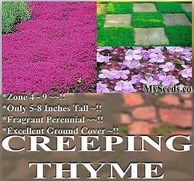 Thymus Serpyllum CREEPING MOTHER THYME Herb Seeds Perennial Ground Cover  x BULK on Rummage (1/1)
