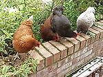 happy_hens