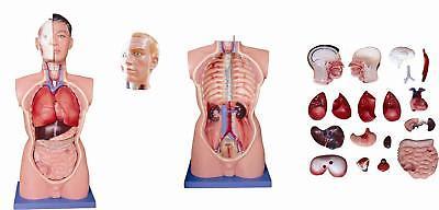 Anatomie Torso Modell Lebensgroß 85cm 19teilig männlich