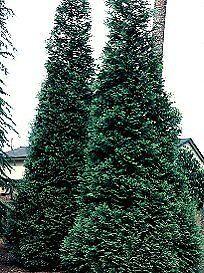 Thuja-GREEN-GIANT-ARBORVITAE-Seeds