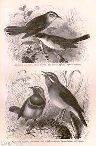 Woods-Our-Living-World-1885-ORPHEAN-WARBLER