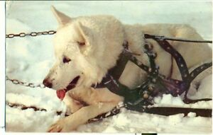 POSTCARD-DOGS-Alaskan-Sled-Dog