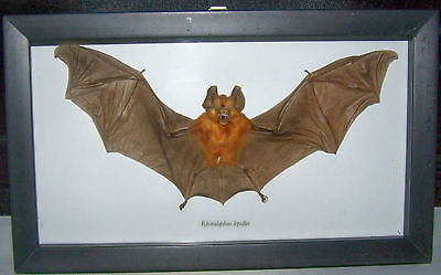 REAL DRIED BAT TAXIDERMY RHINOLOPHUS IN SHADOWBOX FRAME on Rummage