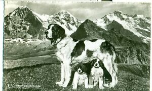 POSTCARD-DOGS-St-Bernards