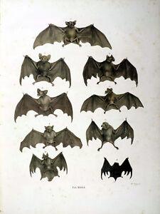 19th Century Natural History Print Bats ref #36