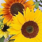 sunflowers*plus