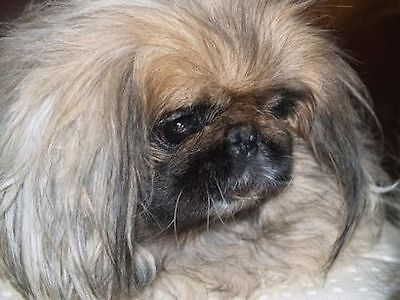 Pekingese Sanctuary Too