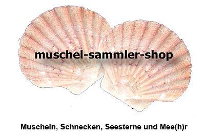 muschel-sammler-shop