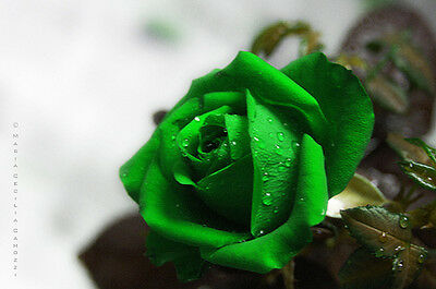 greenrose8