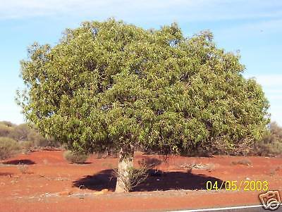 Desert Kurrajong Seed Hardy Member of the Outback Club Evergreen