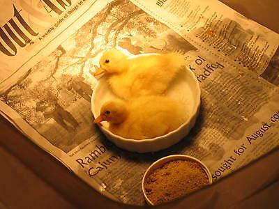 12 Call Duck Eggshatchingincubator Eggs Dwarf Size Ducks