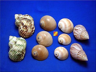 10 Shell Hermit Crab Changing Set Medium Size Seashells Opening 3 4  1 1 2