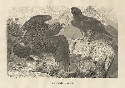 Golden Eagle Bird Kills Deer Mountain View Habitat Antique Art Print