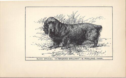 1900 UK Original Dog Art Pen Ink Print RH Moore Champion SUSSEX FIELD SPANIEL 2