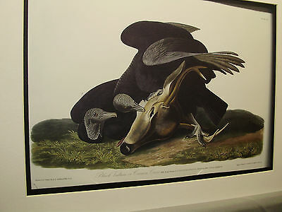 Black Vulture Colored Book Plate # and Captions Winchester American Bird Exhibit