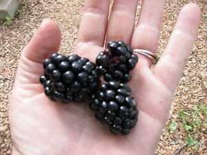 GIANT BLACKBERRY * 105 SEEDS*MEDICINAL*ANTIOXIDANT*FIBER*HEALTHFUL*TRIPLE CROWN