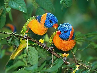 Rainbow Lorikeets Parrots / Parrot BIRD 8 x 10 / 8x10 GLOSSY Photo Picture