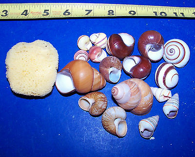 10 - ASSORTED LAND SNAIL SHELLS HERMIT CRAB WITH MOISTURE SPONGE CRAFTS WOW! ()