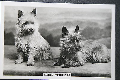 Cairn Terrier   Original  Vintage Photo Card ## VGC