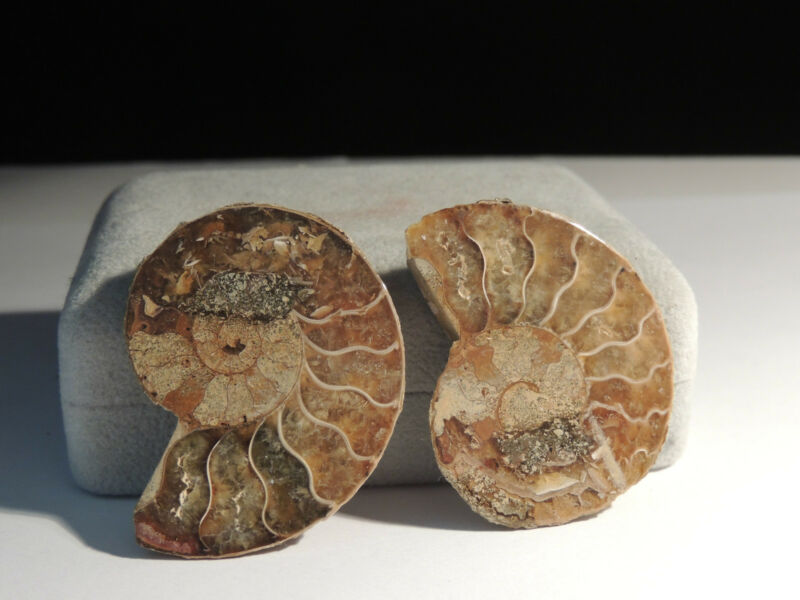 Ammonite Pair of Specimens from Madagascar  over 1  inch wide (3086)