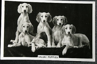 SALUKI PUPPIES   Original 1930's Vintage B/W Photo Card  # VGC