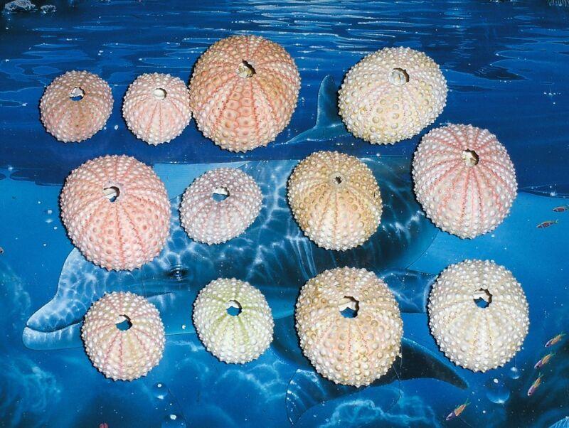"TWELVE (12) 1 to 2"" PINK SEA URCHINS SEA SHELL BEACH DECOR NAUTICAL TROPIC"