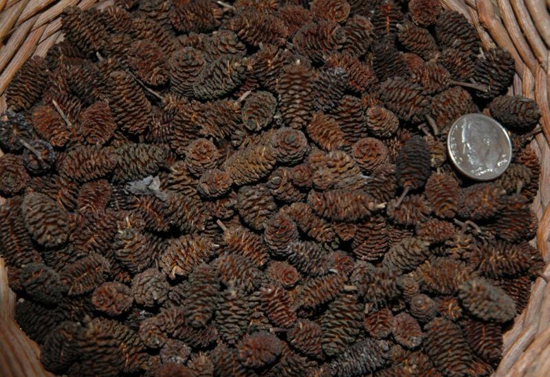 150 ALDER CONES  NATURAL ORGANIC  CONES FOR SHRIMP  FISH POTPOURRI